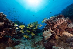 Blue-striped snappers in the Red Sea. Stock Photography
