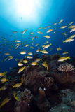 Blue-striped snappers in the Red Sea. royalty free stock image