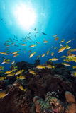 Blue-striped snappers in the Red Sea. Stock Image