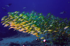 Blue Striped Snappers Royalty Free Stock Images