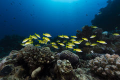 Blue-striped snappers in the tropical waters of the Red Sea. royalty free stock image