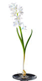 Blue Striped Squill Royalty Free Stock Photo