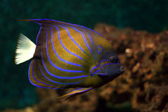 Blue stripes tropical fish Royalty Free Stock Photo