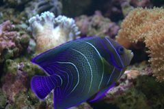 Blue Stripped Tropical Fish Royalty Free Stock Photography