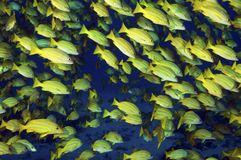 Blue Strpied Snappers Stock Photo