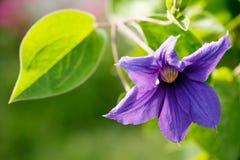 Blue summer flower blossom Royalty Free Stock Image