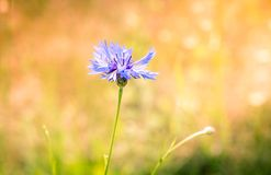 Blue flower in the field stock image