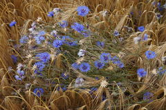 Blue summer flowers. Beautiful blue flowers growing wild in a corn field in the summer Stock Photography