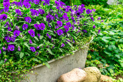 Blue summer flowers in a zink trough in the garden Stock Image