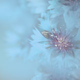 Cornflowers blue background Stock Photo
