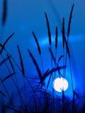 Blue sundown. Sundown and grass silhouette in a blue stock photo