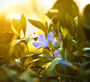 Blue sunset flower Stock Photos