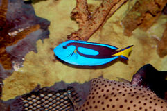 Blue surgeon fish. Close-up Stock Image