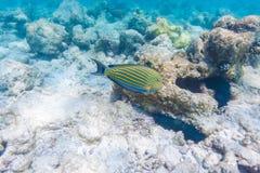 Blue surgeon fish in shallow water, Maldives Royalty Free Stock Photos