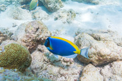 Blue surgeon fish in shallow water, Maldives Stock Images