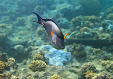 Blue surgeonfish Royalty Free Stock Image