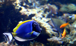 Blue Surgeonfish. Fish swimming in the sea Royalty Free Stock Photo