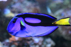 Blue surgeonfish. The blue surgeonfish also known as pacific regal blue tang Stock Images