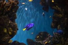 Blue surgeonfish. Aquarium. Selective focus Royalty Free Stock Photography