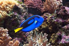 Blue surgeonfish, Paracanthurus hepatus also known as the blue tang. Wild life animal. royalty free stock photo
