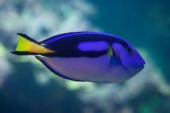 Blue surgeonfish (Paracanthurus hepatus). Blue surgeonfish (Paracanthurus hepatus), also known as the blue tang. Wild life animal Stock Photography