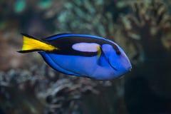Blue surgeonfish (Paracanthurus hepatus). Blue surgeonfish (Paracanthurus hepatus), also known as the blue tang. Wild life animal Royalty Free Stock Images