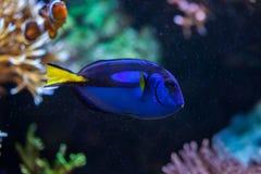 Blue surgeonfish (Paracanthurus hepatus). Blue surgeonfish (Paracanthurus hepatus), also known as the blue tang. Wildlife animal Royalty Free Stock Image