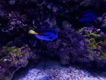 Blue surgeonfish in saltwater aquarium. Marine life in coral reefs, acuatic animals and nature Stock Image
