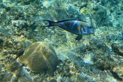 Blue Surgeonfish underwater Royalty Free Stock Photos
