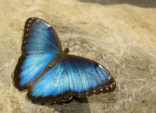 Blue Surpise Butterfly Stock Photo