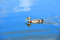 Blue Surrounds Mallard Duck. Yahara River reflects blue sky and white clouds.  Relection shows Female Mallard duck as it glides across the vivid blue water Stock Photos