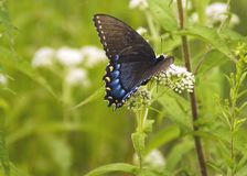 Blue Swallowtail Stock Image