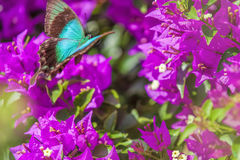 Blue Swallowtail Butterfly Royalty Free Stock Image