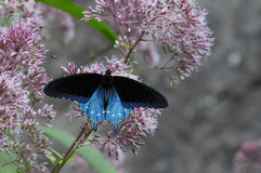 Blue Swallowtail Butterfly. With Wings Open Sitting on a Wildflower in North Carolina royalty free stock image