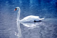 Blue swan Stock Images