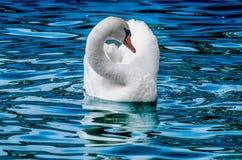 Blue Swan Stock Photos