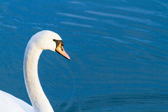 Blue swan Royalty Free Stock Images