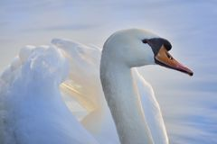 Blue swan. A majestic swan on blue water Royalty Free Stock Photo