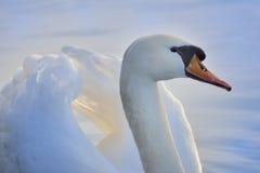 Blue swan Royalty Free Stock Photo