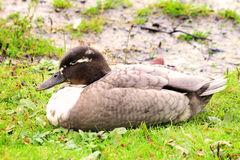 Blue Swedish female Duck Swedish Blue Ducks. Female Blue Swedish hen Duck Swedish Royalty Free Stock Photos