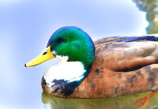 Blue Swedish male Duck Swedish Blue Ducks Royalty Free Stock Photo
