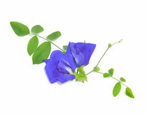 Blue sweet pea flowers isolated on white background Stock Photos