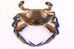Blue Swimmer Crab Royalty Free Stock Photography