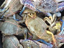 Blue swimmer crab Royalty Free Stock Image