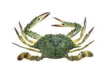 Blue swimmer crab isolated Royalty Free Stock Image