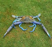 Blue swimmer crab. One fresh caught crab Stock Image