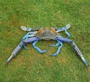 Blue swimmer crab Stock Image