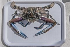 Blue Swimmer Crab. Portunus armatus. Freshly caught and cooked Blue Swimmer Crabs Portunus armatus, also known as Sand, Flower and Blue Crab, ready for the Stock Photos