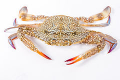 Blue swimmer crab Royalty Free Stock Photo