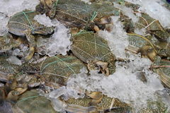 Blue swimmer crabs. On ice in open seafood supermarket stock images